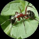 В составе Ортофикса содержится муравьиная кислота